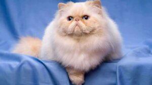 Mengenal Makanan Khusus Kucing Persia