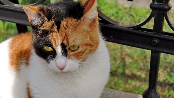 Kucing MixDome