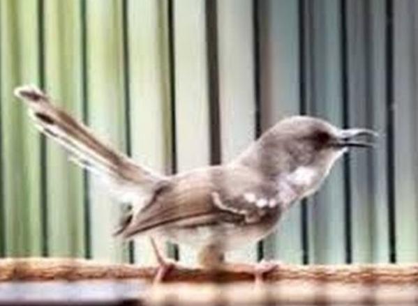 burung-murah-suara-mantap