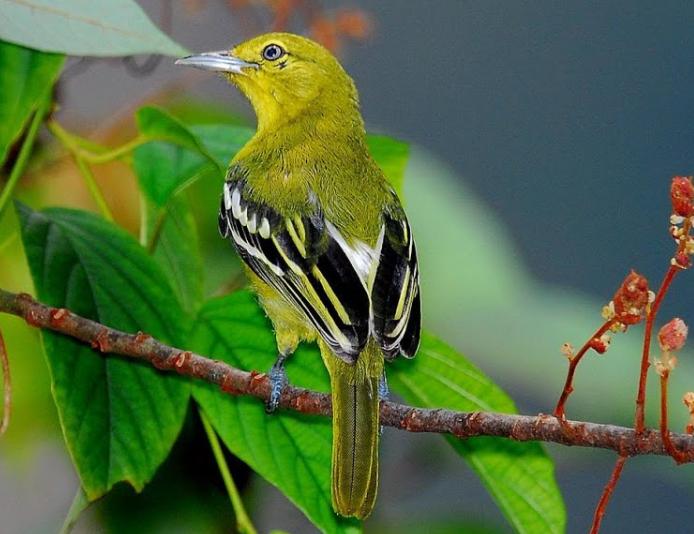 burung-murah-warna-indah