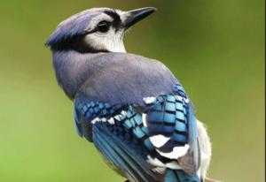 cara-mengajari-burung